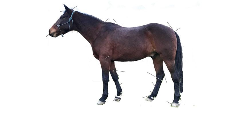 Horse Anatomy Quiz Level 2 Student Pony Dreams